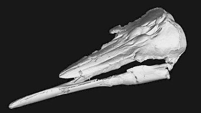 Semirostrum skull
