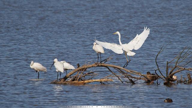 Lepelaar vecht met Zilverreiger om beste plek - Spoonbills fight Great White Egret for best spot - Platalea leucorodia
