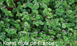 Lierre terrestre ou Herbe de Saint-Jean