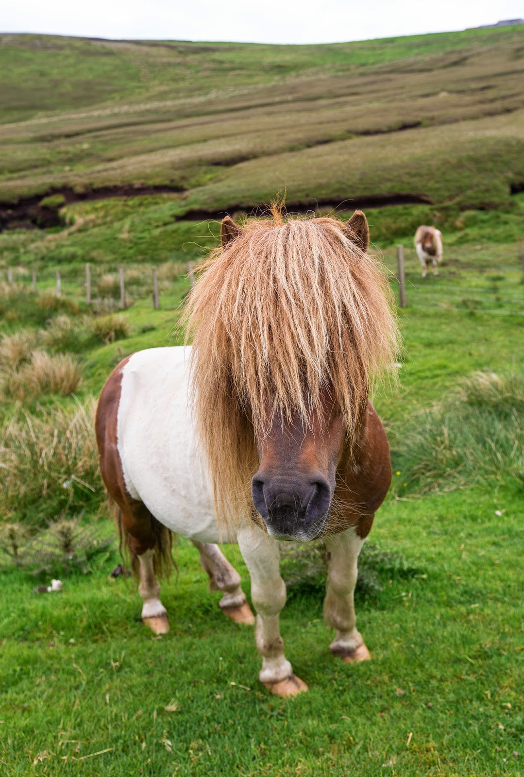 Shetland Ponies, Scotland