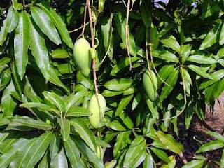 Manfaat daun mangga untuk kesehatan.