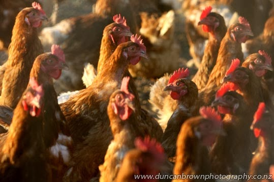 Free range chickens, enjoying the late afternoon sun in Bridge Pa photograph