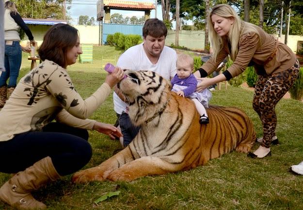 tigres de mascotas
