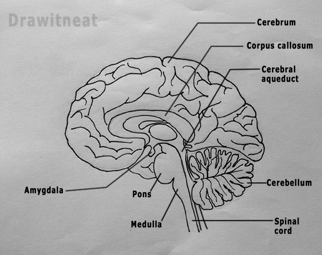 draw it neat how to draw sagittal section of human brain rh drawitneat blogspot com easy brain diagram pdf easy method to draw brain diagram