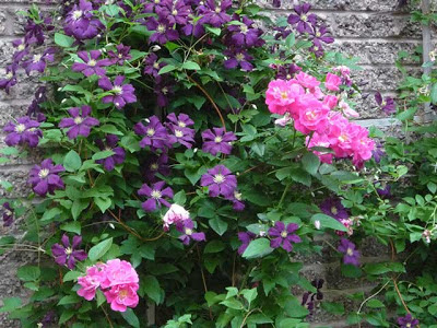 Clematis 'Jackmanii with William Baffin roses