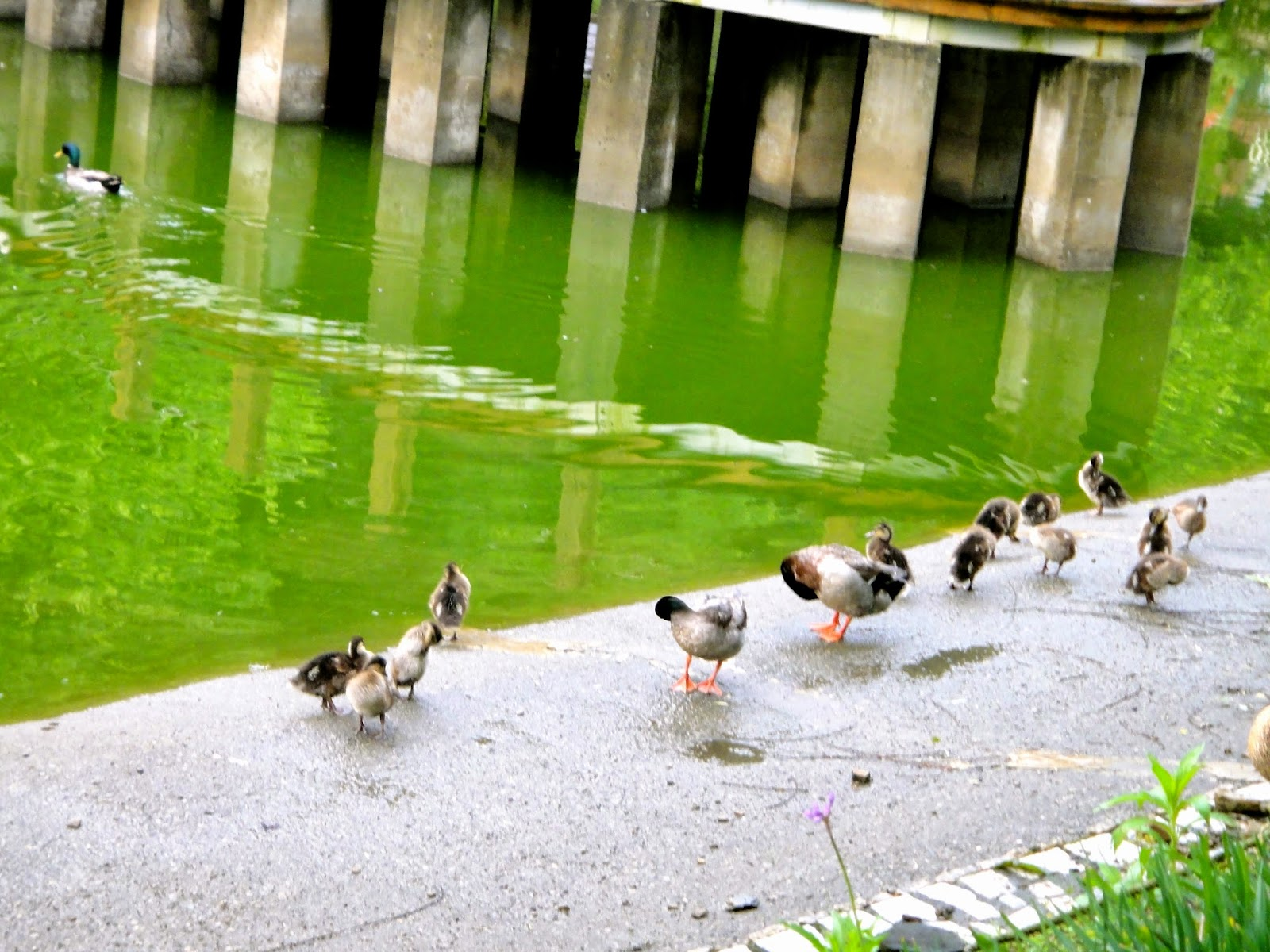 Cute family of ducks small Swiss Garden Cingjing Farm