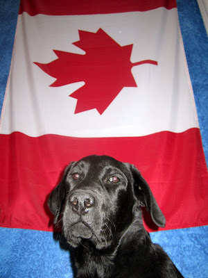 Black lab puppy Romero is posing for a picture in front of a big Canada flag hanging on a blue wall. The photo is taking from below Romero's face, looking up at the flag. Romero is looking seriously into the camera, his brown eyes reflecting the flash and his wet black nose shining. In classic Romero fashion, he is holding his right ear close to his hear, and his left ear out to the side - silly boy!