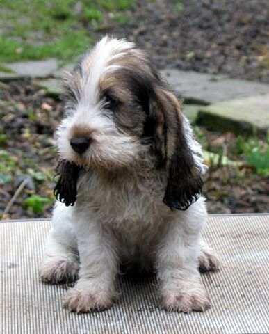 Dog pictures online petit basset griffon vendeen dog - Petit basset griffon vendeen breeders toulon ...