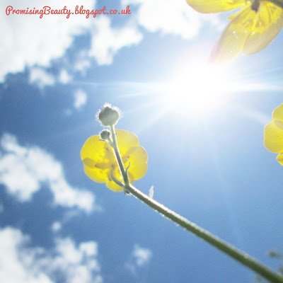 Gorgeous yellow buttercups waving in the sunshine with blue sky and fluffy, wispy white clouds.