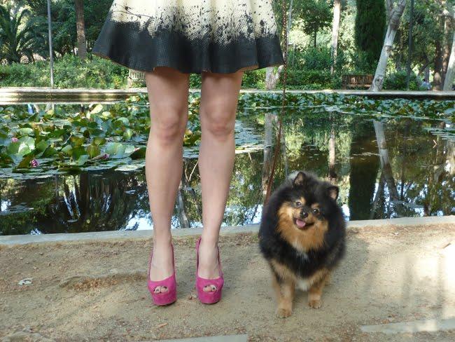 ... Pomeranians , Black And Tan Pomeranian Puppy , Black Pomeranians