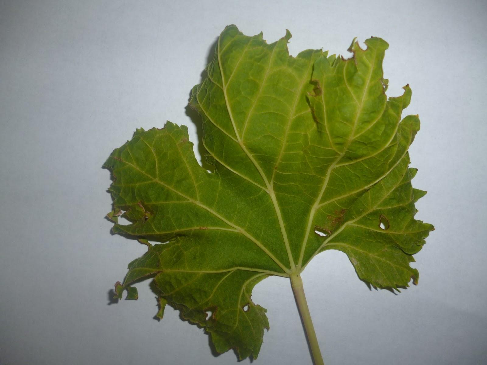 Resultado de imagen para hoja de viña afectada por glifosato