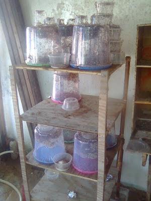 Gambar Rak Toples Semut Rangrang