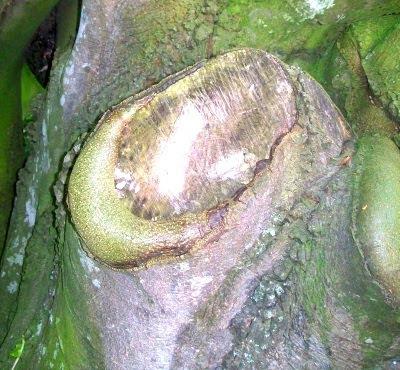 La mirada del tronc (Joseph Sivilia)
