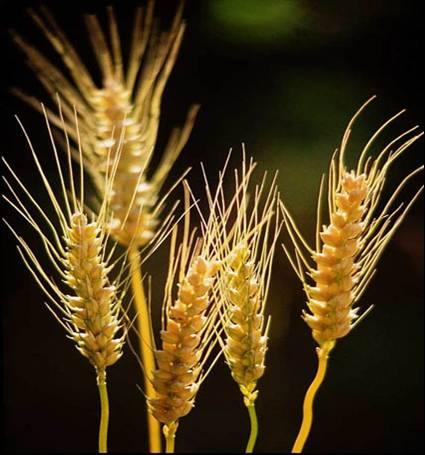 INTERESANTE: carnívoro vs. omnívoro Cereales-alimentacion