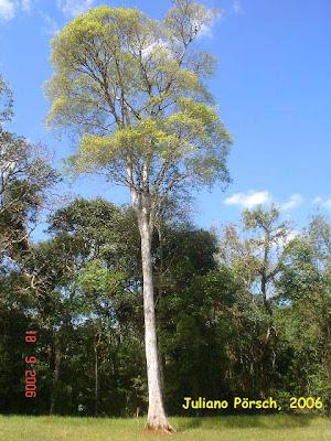 Ivira pere Apuleia leiocarpa