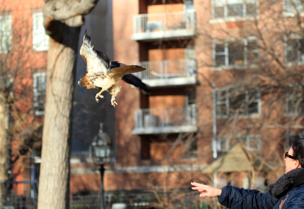 Cathy Horvath of WINORR releasing Hawk into the air