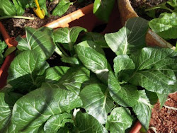 Bok Choy Winter 2010-2011
