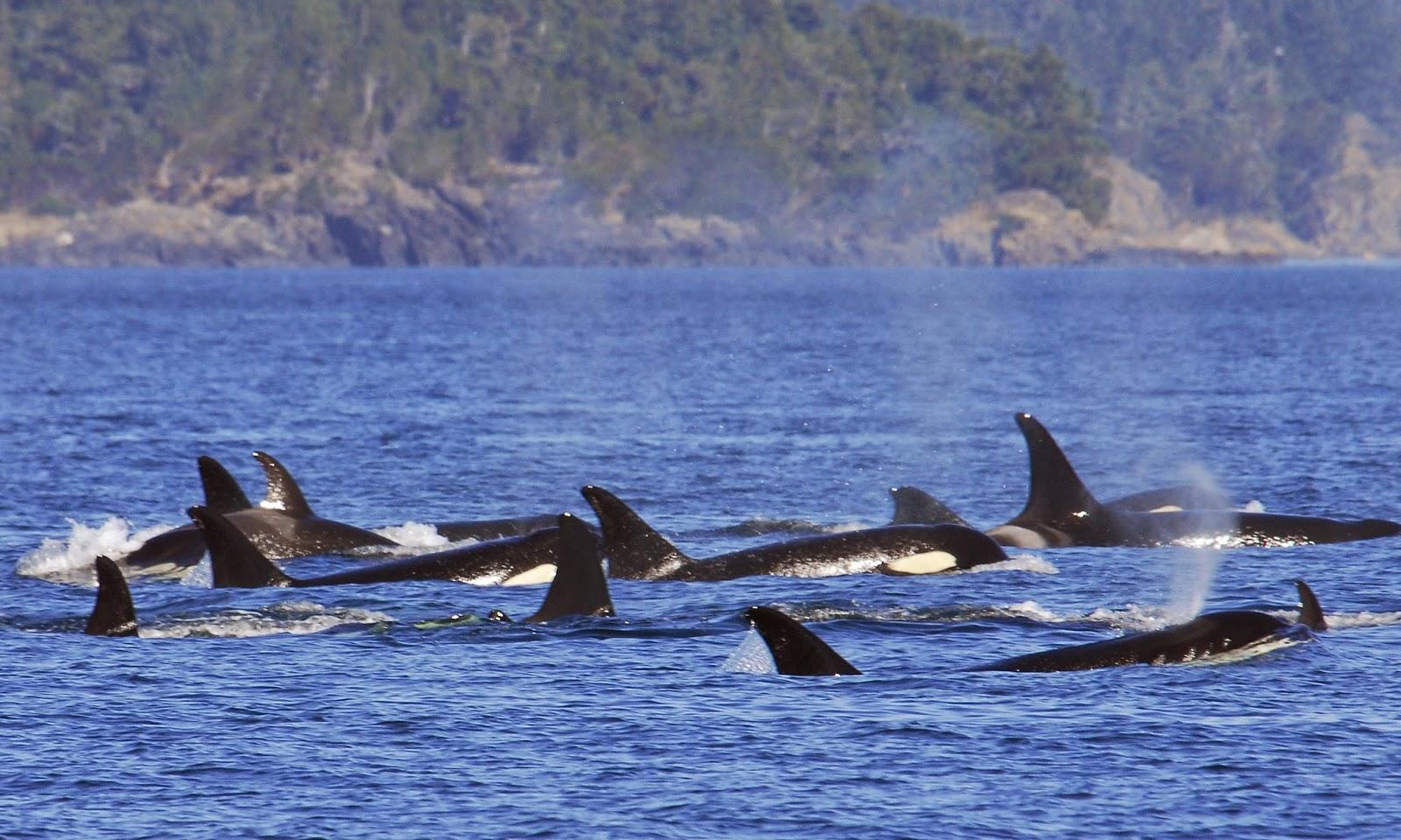 Wallpaper met zwemmende orka's