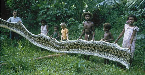 ular makan manusia