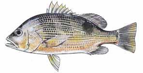lubuk ikan jenahak, ikan jenahak, pancing ikan jenahak, cara pancing ikan jenahak, umpan ikan jenahak