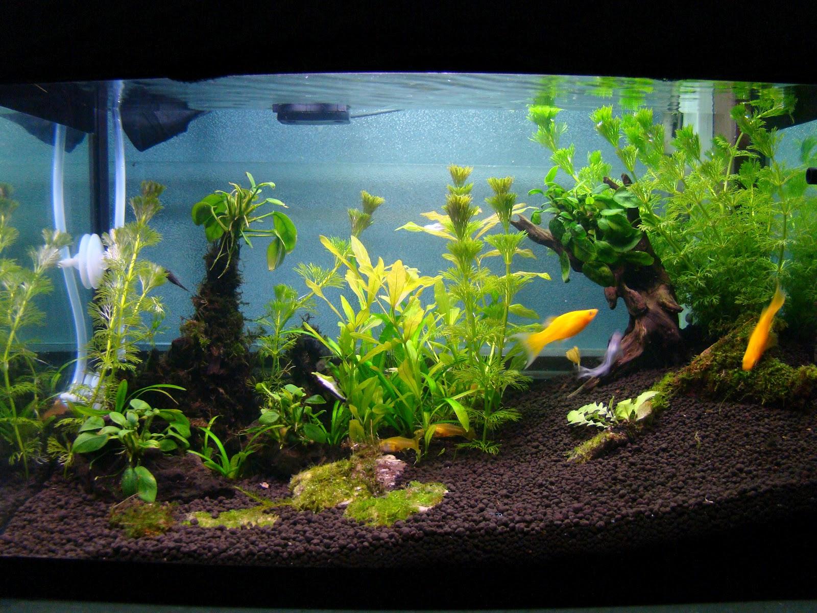 Aquascaping Planted Tank : AquaBie: Aquascape - Planted Tank (Golden Shine)