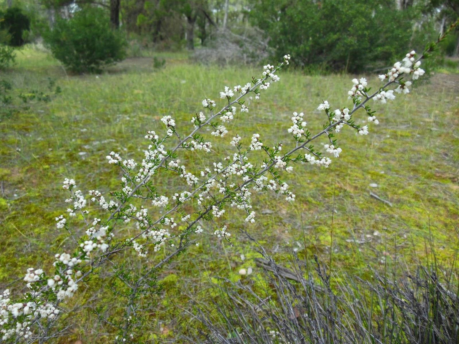 Australian Plants Society Northern Yorke Peninsula Group Flowering