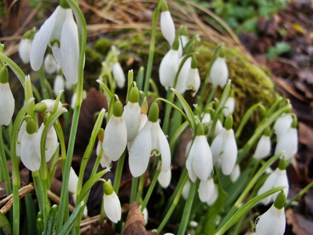 How to look snowdrops 83