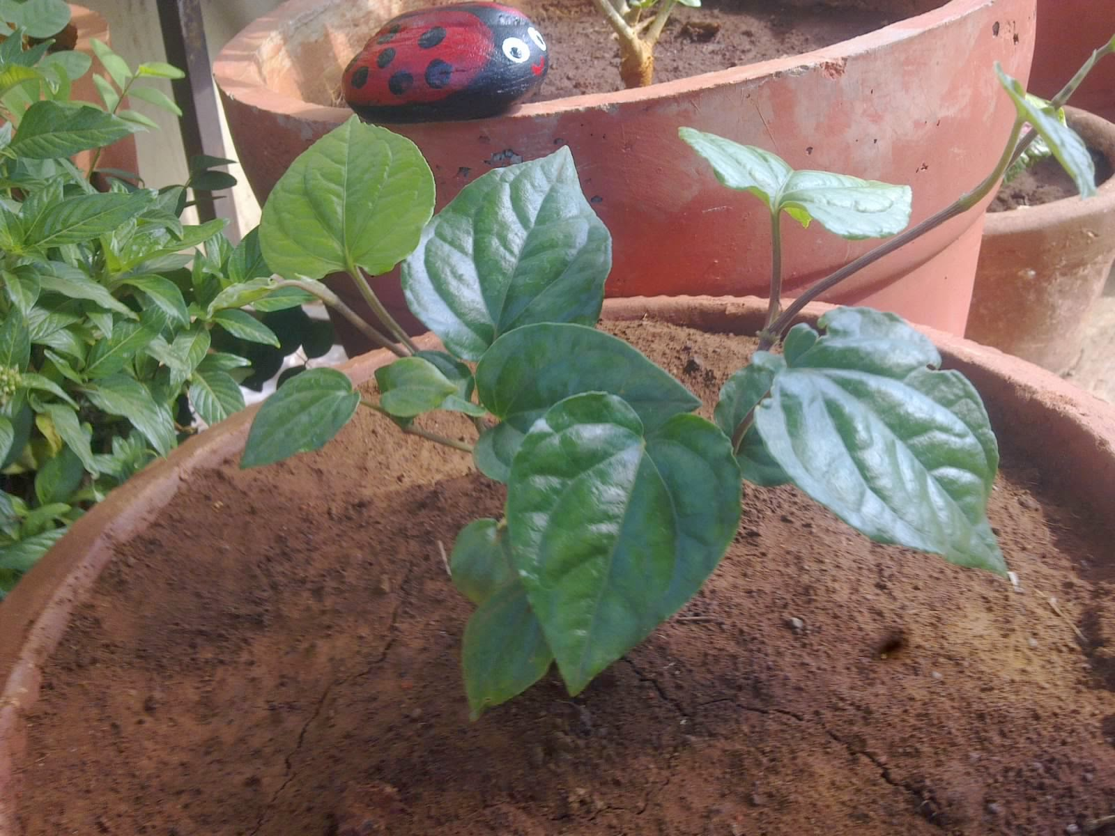 Kitchen Garden In Pots Plants Growing In My Potted Garden Growing Piper Betel In Pots