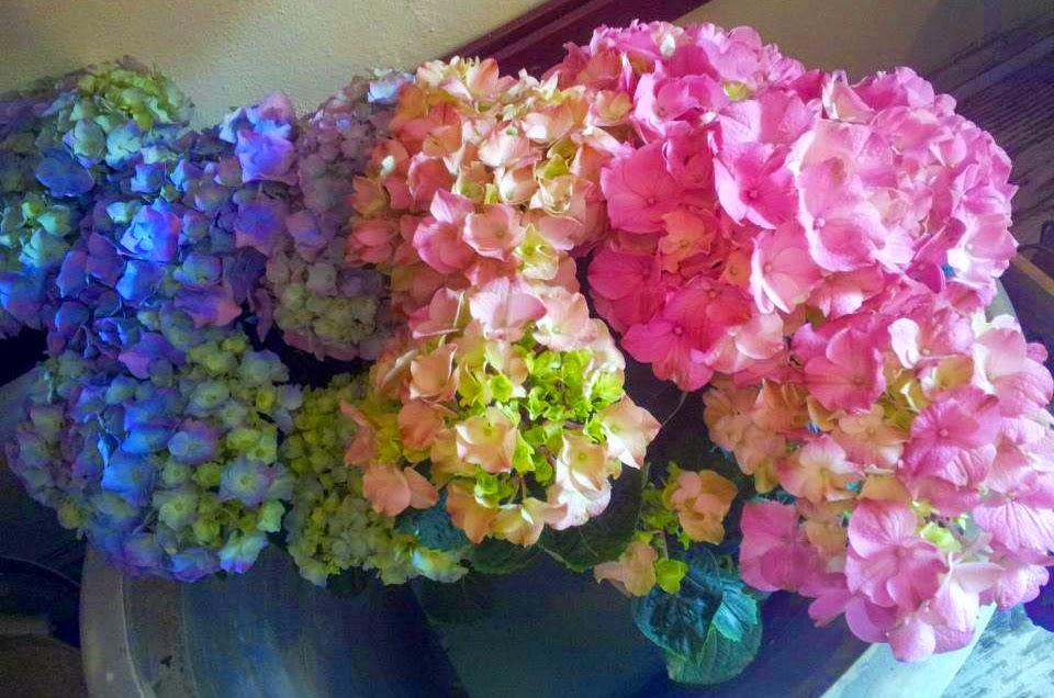 Hortensias cuidados y recomendaciones c rtamo flores - Cuidado de las hortensias ...