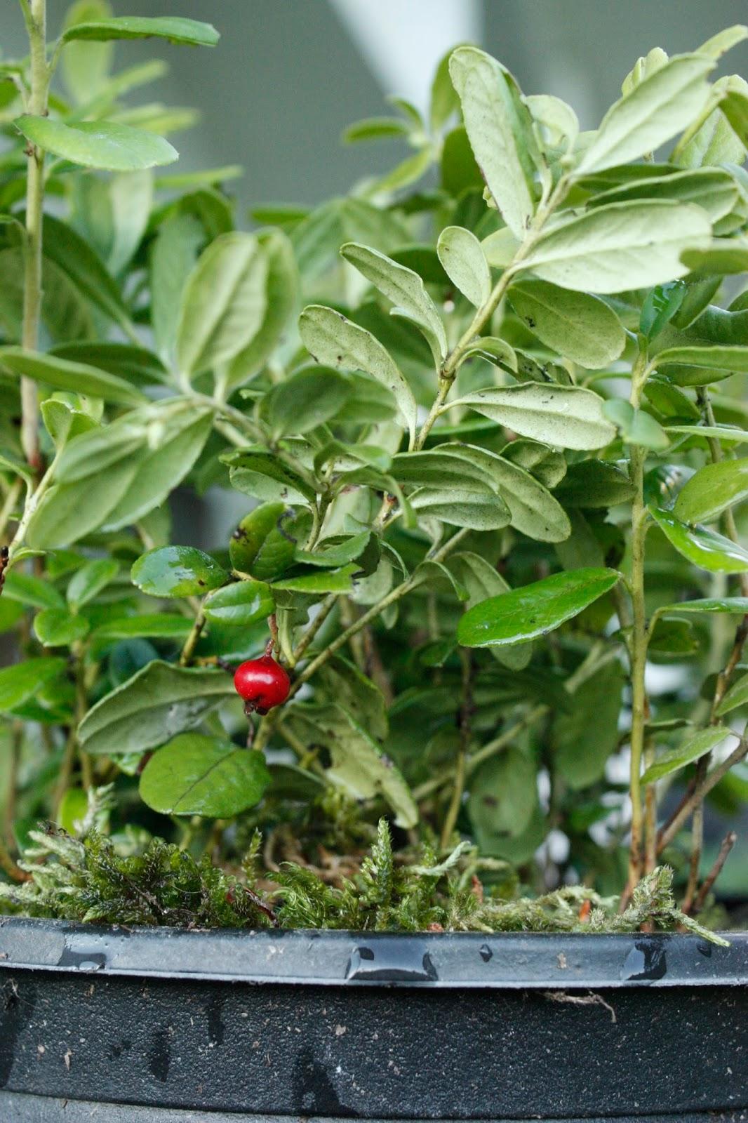 Josefins trädgård: lingon