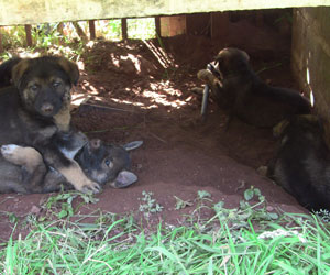 German Shepherd pups in their dugout den