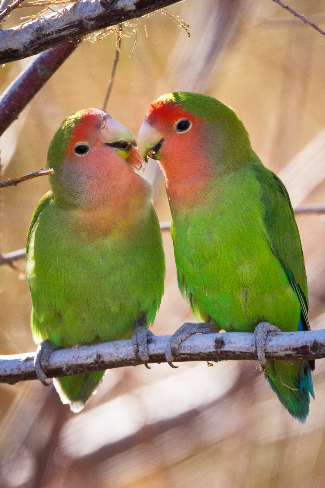 Free Pictures of peach faced lovebirds