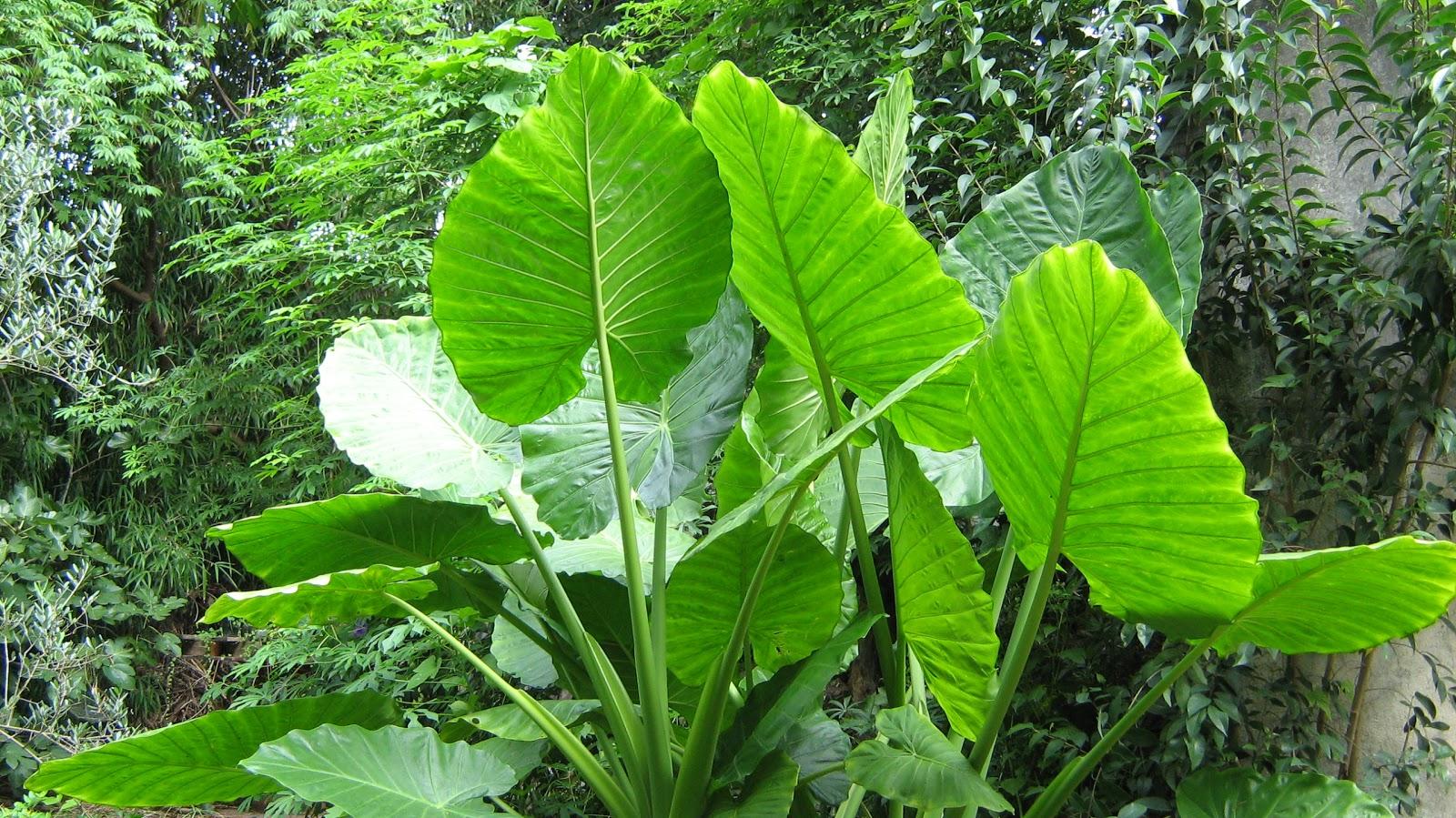 Orejas de elefante plantas de tigre for Planta ornamental oreja de elefante