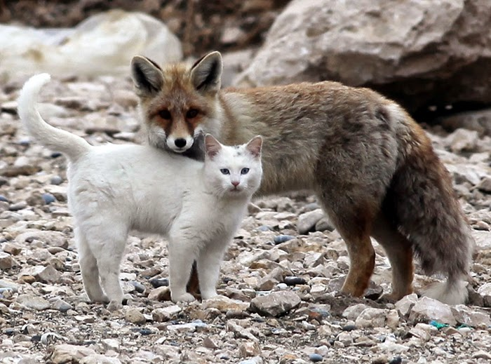 #2 Cat and a fox - Unusual Animal Friendships That Are Absolutely Adorable!