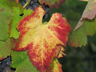 Red and Gold Grape Leaf among Green