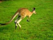 an Australian animal