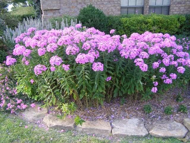 Green Girly: Zone 3 Flowers: Phlox