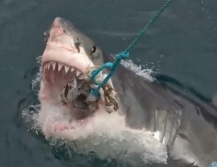 Killer Sharks Videos Video:most Aggressive Sharks
