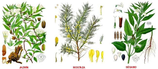 Plantas medicinales clasificaci n de las plantas for Plantas ornamentales y medicinales