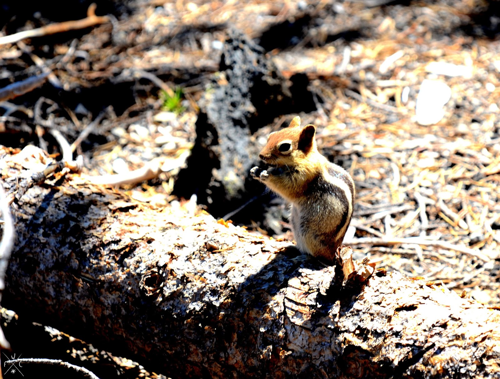 Chipmunk, Deschutes National Forest, Oregon, USA