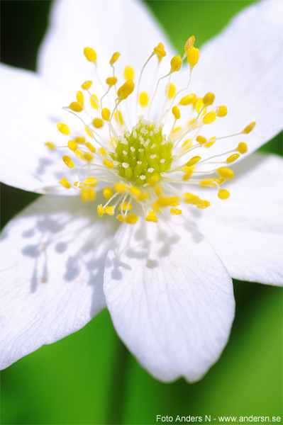 vitsippa, vår, blomma, vårblomma, anemone nemorosa, tsyfpl, foto anders n