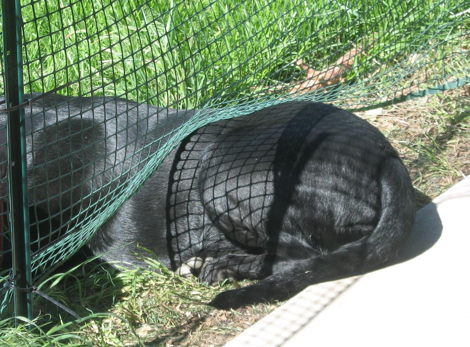 Kitchen Garden Fence The Essary Kitchen Garden Update Dogs Grubs And Beer Oh My