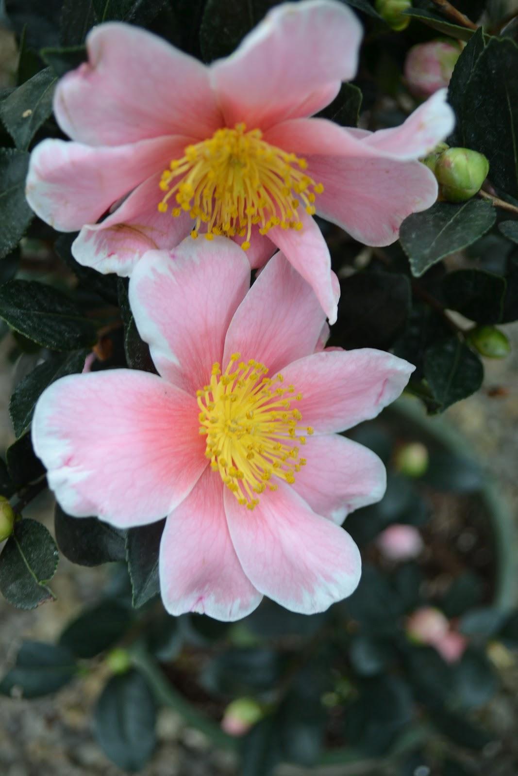 The outlaw gardener karma karma karma karma karma camellia for Camellia sasanqua