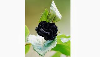mawar hitam langka di turki