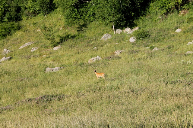 A deer makes its way up the hillside at Aspendance Alpacas