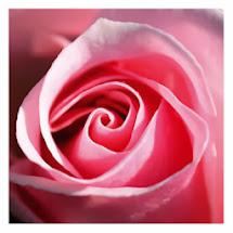 Fique com a bênção da rosa rosa!