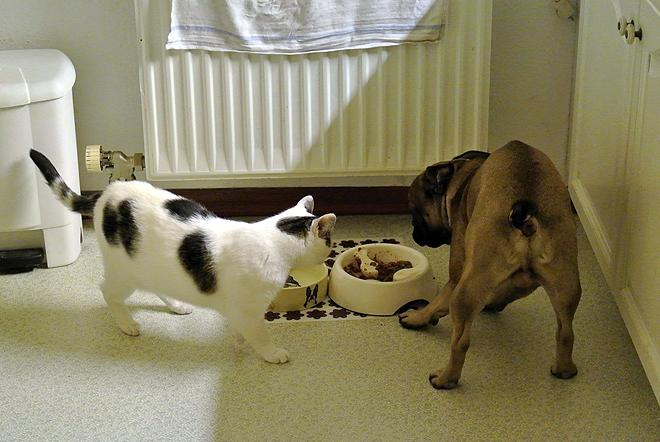 French Bulldog Genki & Cat Freya
