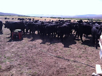 cattle and gold mining