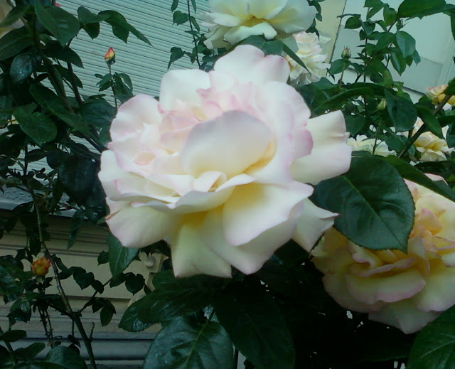 A very pleasant white rose