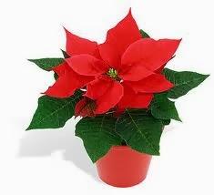 plantas de interior con flores rojas
